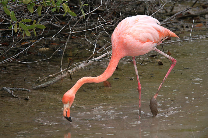 Flamant des Caraïbes Phoenicopterus ruber - Isla Isabela
